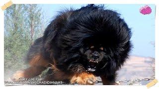 أخطر 10 كلاب في العالم باسره..!!