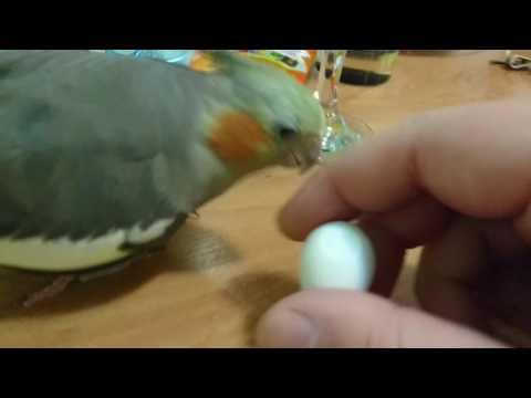Треснутое яйцо кореллы вылупилось!