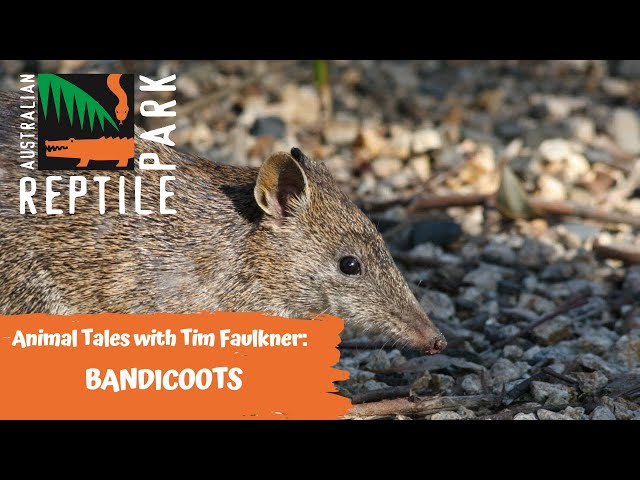 ANIMAL TALES WITH TIM FAULKNER | EPISODE 34 | BANDICOOTS