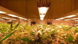 SANlight LED grow Light - grow room inside review #2 - phase: early and late flowering
