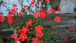 赤い花が鮮烈なサンブリテニアスカーレットの育て方 動画作成:花の館 h...