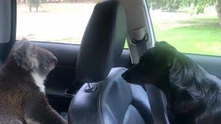 شاهد: ترك باب سيارته مفتوحا ففاجأه دب كوالا فضولي بزيارة لطيفة…