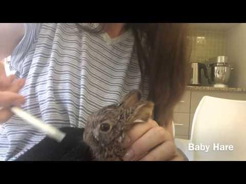 Orphaned Wild Hare