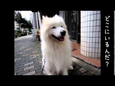 サモエド クローカ 「うしろ、うしろー!」 (samoyed kloka)
