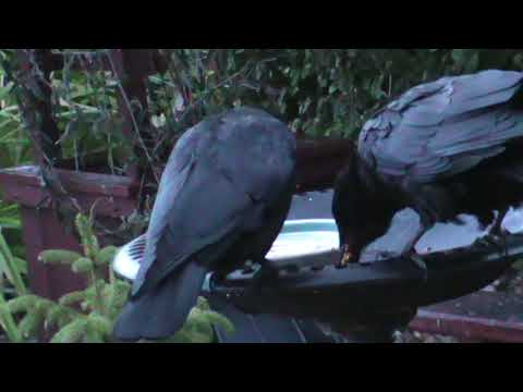 9/15/2017 JP Crow first to the feeder followed by mom Rhonda