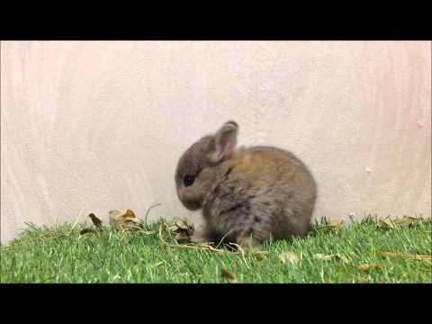 กระต่ายแคระ ND-Netherland Dwarf (OJ002-4) Allawa Rabbit Farm