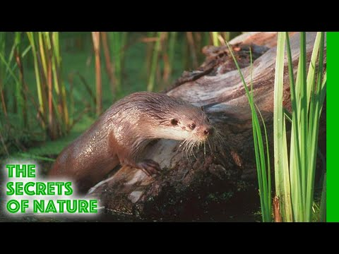 The Otter's Trail - The Secrets of Nature