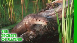 The Otter's Trail  The Secrets of Nature