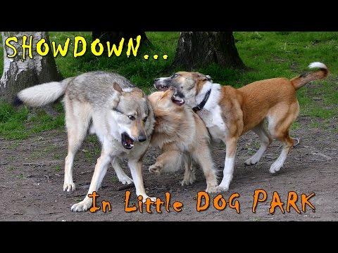 Czechoslovakian Wolfdog Lovec - The Dawg Park IX, Finnish Lapphund & Labrador Belgian Shepherd Fun