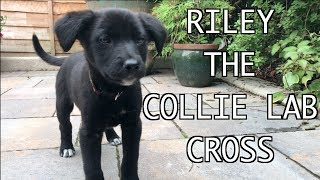 Riley the Collie X Labrador Puppy at 9 weeks