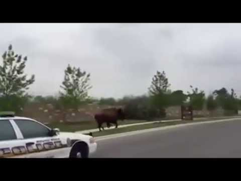 Buffalo on the loose in Round Rock, Texas