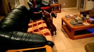 Splash The Boxer Puppy Has The Zoomies
