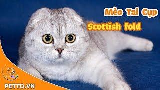 Mèo Tai Cụp (Mèo Scottish Fold) – Nguồn Gốc, Đặc Điểm Và Giá Bán - PETTO TV