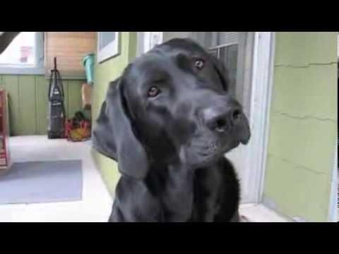 Black Lab funny head tilts + Puppy head tilts