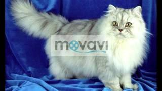 Коты персидские.Мафик.