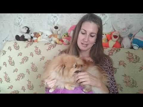 Как определить беременна ли собака, определяем беременность у шпица