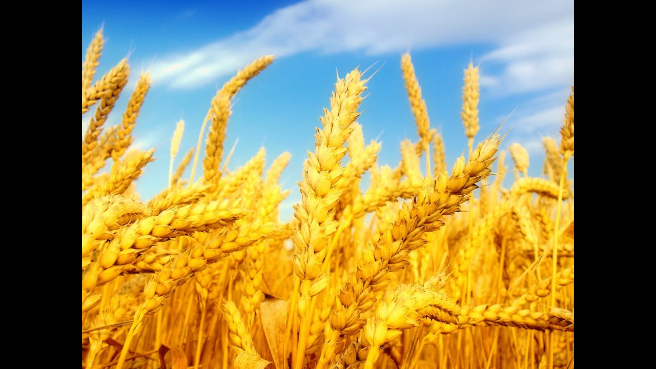 Resultado de imagem para a colheita