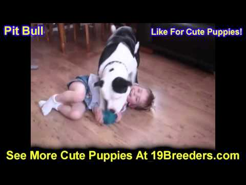 Pitbull, Puppies, For, Sale, In, Allegheny, Pennsylvania, PA, Bucks, Chester, County, Berks, Delawar