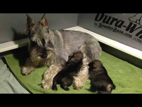 2.5 week old standard schnauzers & mom