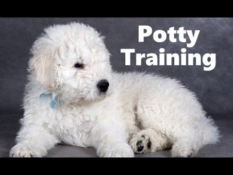 How To Potty Train A Komondor Puppy - Komondor House Training Tips - Housebreaking Komondor Puppies