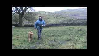 Labrador - Create A Bond Through Basic Gundog Training
