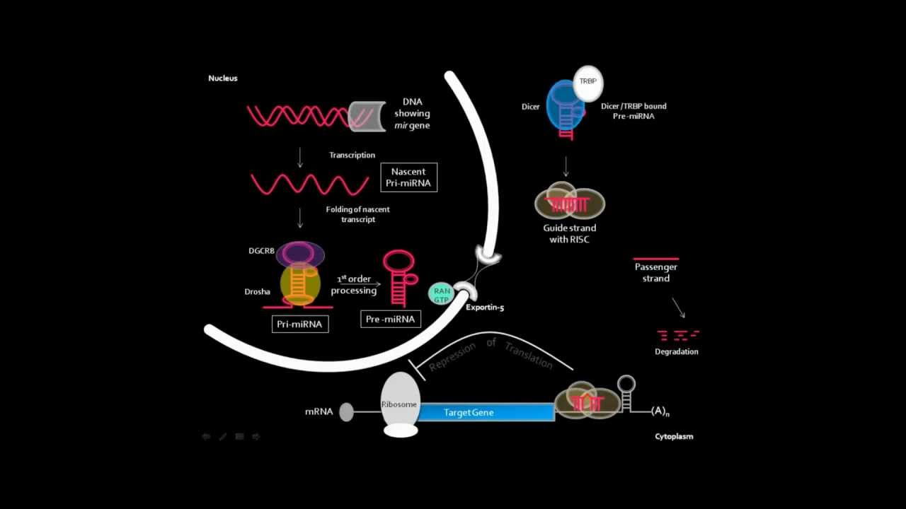 Microrna Biogenesis