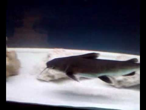 Saltwater Columbian Sharks - YouTube