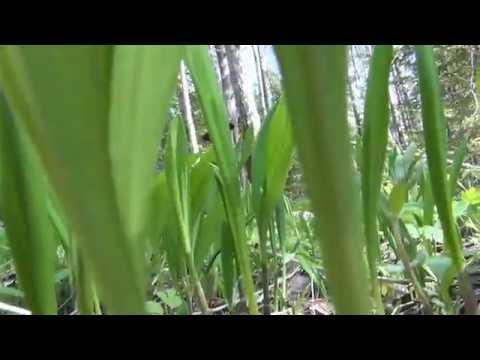 Растение колба - первые весенние витамины