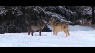 А.Поручикъ - Подруга Волчица