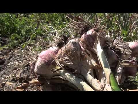 Cosecha de ajo en San Gabriel Chilac