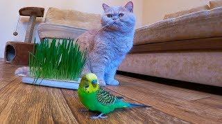 Волнистый попугай и кот кушают травку - витамины