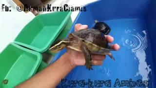 Kura Ambon Kalimantan (RUMAH KURA-KURA CIAMIS)