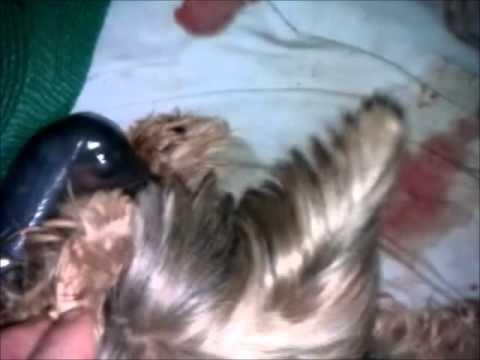 naissance chiots yorkshire - YouTube