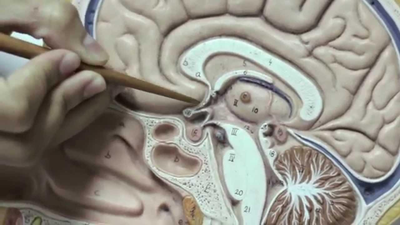Hipotálamo, Hipófise e Pineal - Sistema Endócrino - YouTube