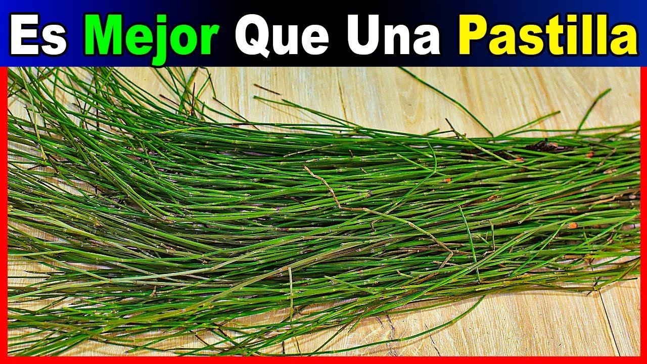 ¡¡Esta Planta vale ORO!! Trata Úlceras, Hipertensión, Artritis y mucho +