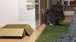 クローゼットに入りたい猫 ノルウェージャンフォレストキャットCat would like to enter the closet.Norwegian Forest. thumbnail