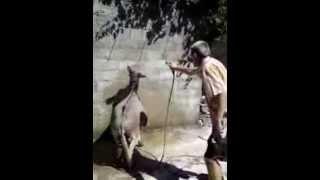 Kljaci: 004-Tuširanje magarca