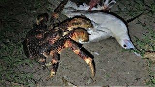 驚悚影片:這是個蟹吃鳥的世界!《國家地理》雜誌