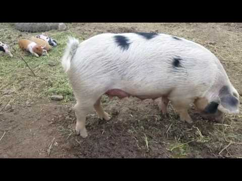 How We Raise Our Pigs For Cheap