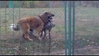 Случка кавказской овчарки