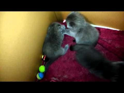 Британские котята вискас, окрас, шотландские вислоухие