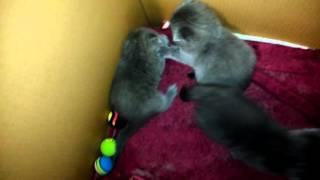 драка котят Шотландские прямоухие вислоухие котята Скоттиш страйт Скоттиш фолд 2