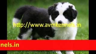 Puppies For Sale In Chennai,pet Dogs For Sale In Chennai,puppies Available In Chennai