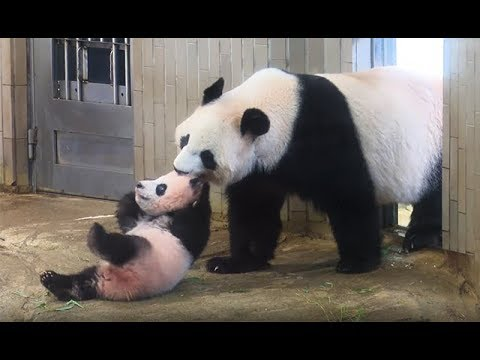 Panda Cubs Can Grow Up to 900 Times It's Size After Birth