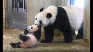 パンダのシャンシャン、誕生から1歳までの記録