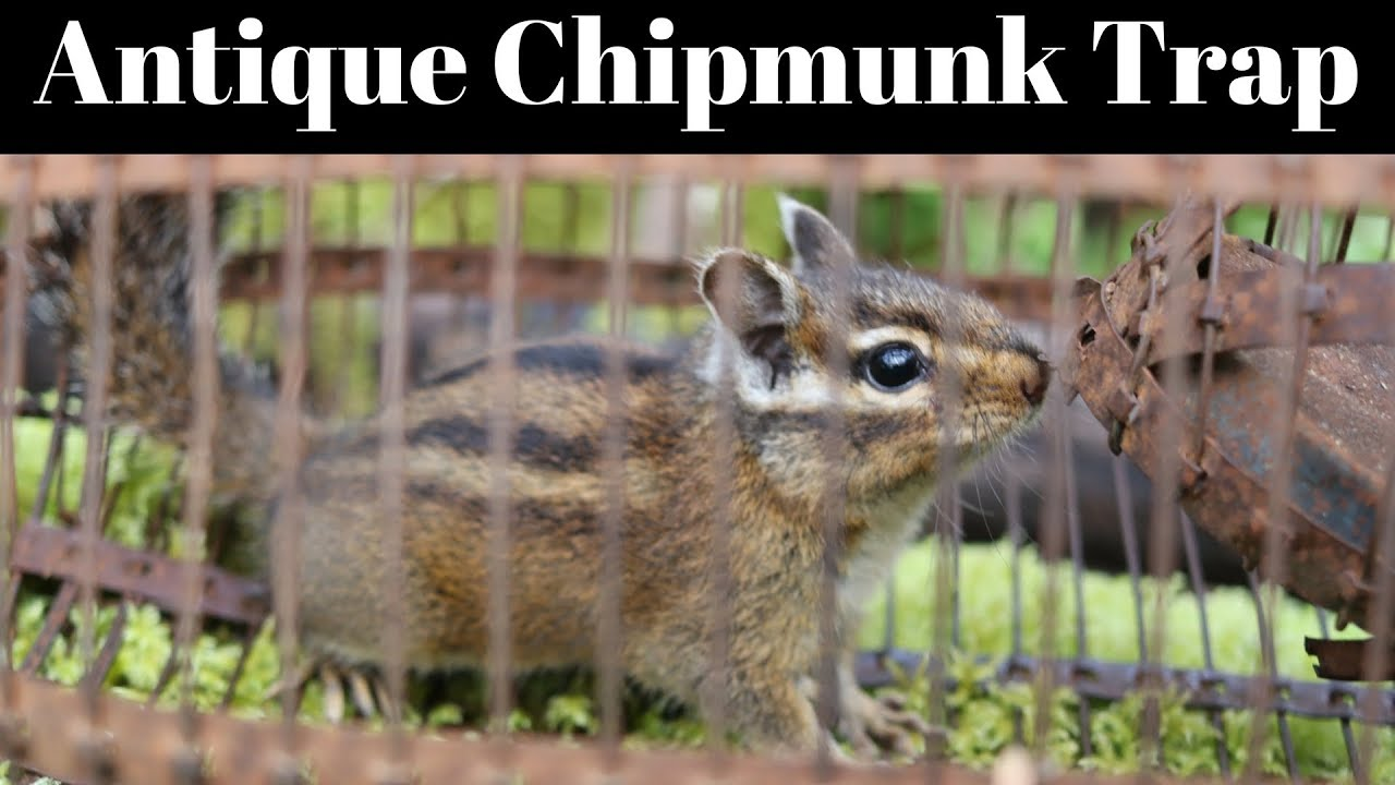 100-year-old-antique-rat-trap-finally-catches-the-chipmunk-in-my-barn
