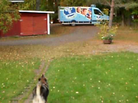 Finnish Lapphund howling to a ice cream truck