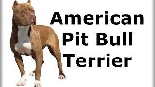 ABC canino - American Pit Bull Terrier - Dublado