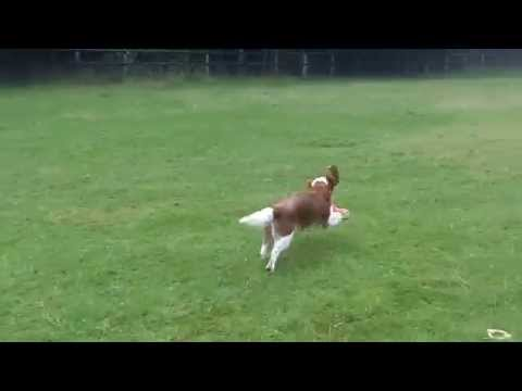 Welsh Springer Spaniels Finlay & Ramsay.