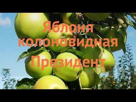 Яблоня колоновидная Президент (malus Prezident) 🌿 обзор: как сажать, саженцы яблони Президент